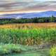 Cornstalks at dusk at Wyalusing State Park, Wisconsin