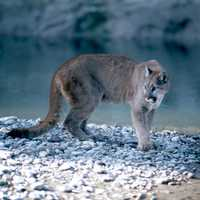 Cougar in Grand Teton National Park, Wyoming