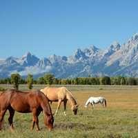 Horses Grazing in the Shadow of the Mountains in Grand Teton National Park, Wyoming