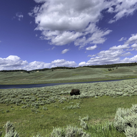 Bison grazing by the river