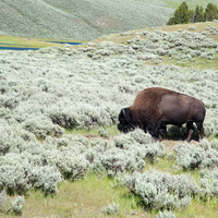 Bison Grazing on Grass