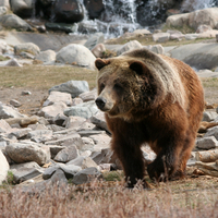 Brown Bear in Yellowstone National Park, Wyoming