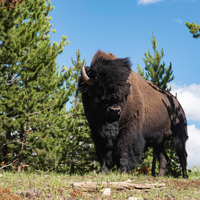 Large Bison wildlife
