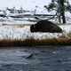Resting Buffalo near the river at Yellowstone National Park, Wyoming