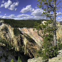 Trees on the Canyon at Yellowstone National Park