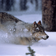 Wolf running in the snow in Yellowstone National Park, Wyoming