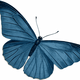 Blue Butterfly Vector Art