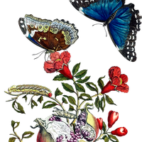 Butterflies on pomegranate vector clipart