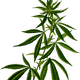 Cannabis vector clipart