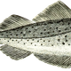 Cod fish vector clipart