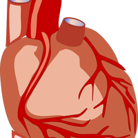 Human Heart vector file