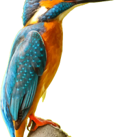 Kingfisher bird vector clipart