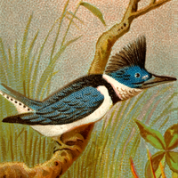 Kingfisher Cigarette Card Vector Clipart