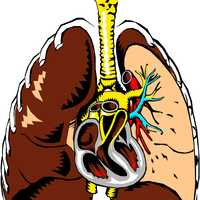 Lungs Cross Section Vector Clipart