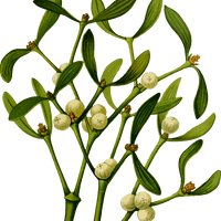 Mistletoe plant vector file