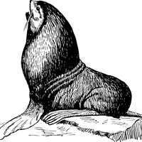 Seal sitting on a rock vector clipart