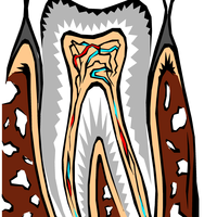 Tooth Cross Section Vector Clipart