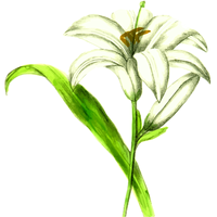 White Lily Vector Graphic