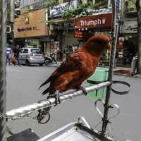 Chained Parrot on the Street in Hanoi, Vietnam